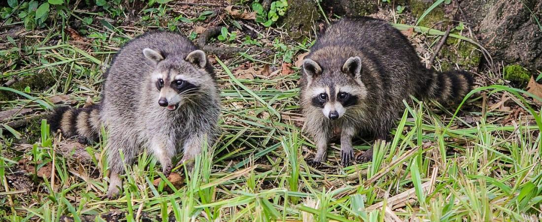 raccoons-439883_1280